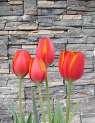 multiple red orange spring tulip flower with stone background