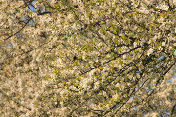 alberi da frutta in fiore frutteti