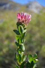 florea - Afrique du Sud