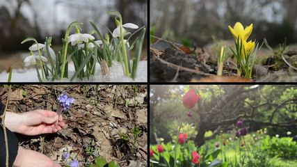 Snowdrop saffron violet and tulip flowers. Video clips collage