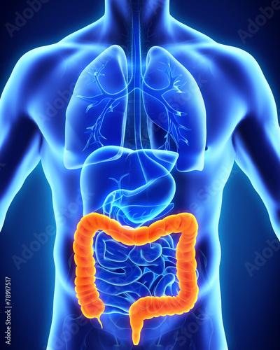 Leinwandbild Motiv Human Colon Anatomy