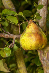 Ripe pear hanging from a tree.  Yellow comice variety.