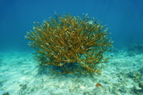 Colony of Staghorn coral Acropora cervicornis poster