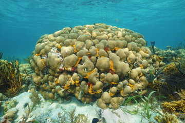 Caribbean reef underwater with Great star coral