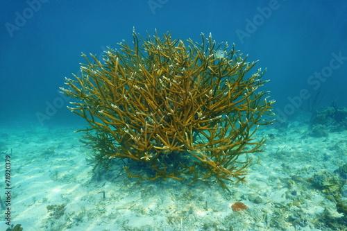 Tuinposter Koraalriffen Colony of Staghorn coral Acropora cervicornis