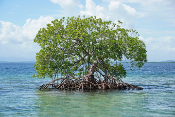 Secluded mangrove tree Rhizophora mangle in water