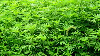 Zoom Out of Hemp Plants growing in the Wild in Sapa Vietnam