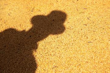 Farmer shadow cast in lot of soy.