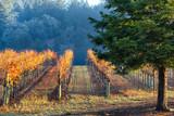 Vineyard in autumn lit by morning sun. California