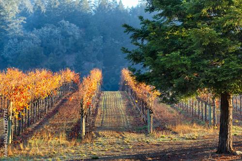 Vineyard in autumn lit by morning sun. California - 78927732