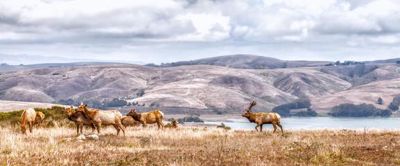 Elk grazing in a natural grasslands habitat Northern Californ