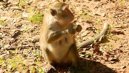 Monkey Eating Lotus Seeds - Angkor Wat Temple Cambodia