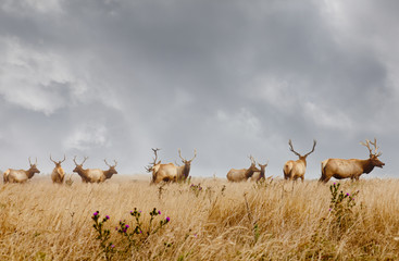 Herd of wild male elk with antlers in natural grassland habitat