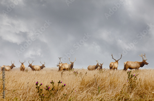 Herd of wild male elk with antlers in natural grassland habitat