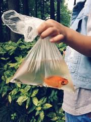 goold fish in plastic bag