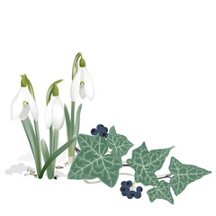 Snowdrops and Ivy - Background