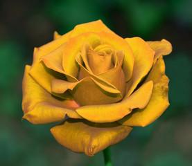 primo piano di rosa giallo oro