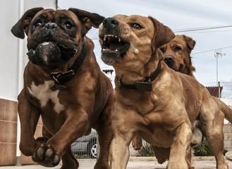 Perros furiosos