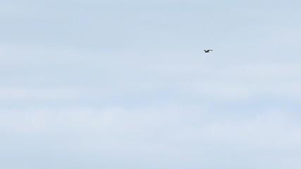 Flight of predatory bird hawk