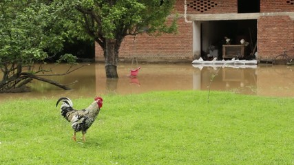 Brave rooster in the flooded yard,chicken esape in the hoop