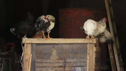 Hens and roosters standing on the cage in the stable