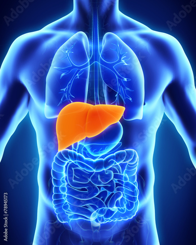 Leinwanddruck Bild Human Liver Anatomy