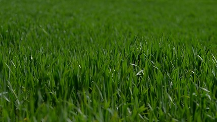 wind blowing on the grass