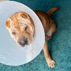 sharpei dog wearing a protective veterinary collar