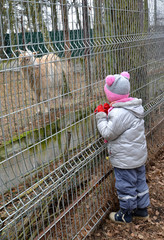 The little girl looks at a domestic goat in a zoo
