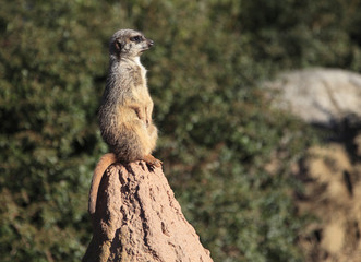 A meercat standing at attention on a rock.