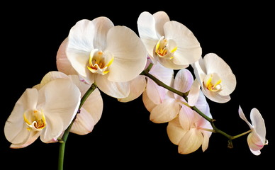 phalaenopsis orchid on a black background