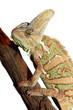 isolated veiled chameleon