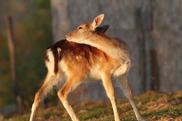 fallow deer calf scratching