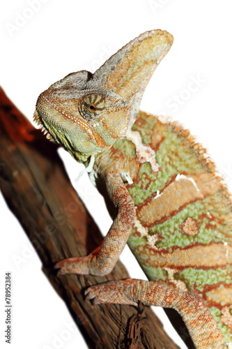 Foto op Aluminium Kameleon isolated veiled chameleon