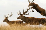 red deer males running together