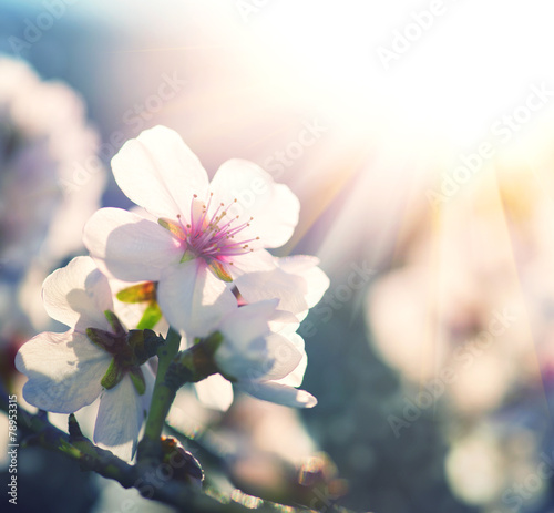 Plexiglas Bomen Spring blossom background. Nature scene with blooming tree