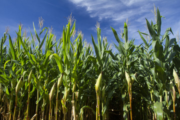 Milho cornfield lavoura 8859