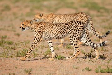 Stalking Cheetahs, Kalahari desert