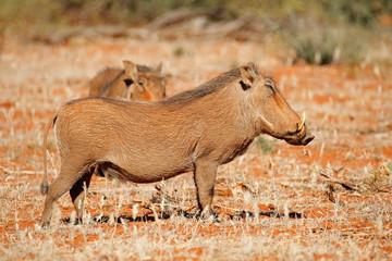 Warthogs in natural habitat