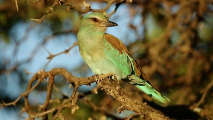 European roller perched in a tree