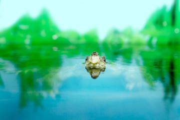 Image of freshwater exotic turtles Matamata