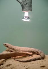 電球の下で体を温めるオニプレートトカゲ