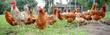 Leinwanddruck Bild - Hahn mit Hühnern auf einer Wiese, Breitbildformat