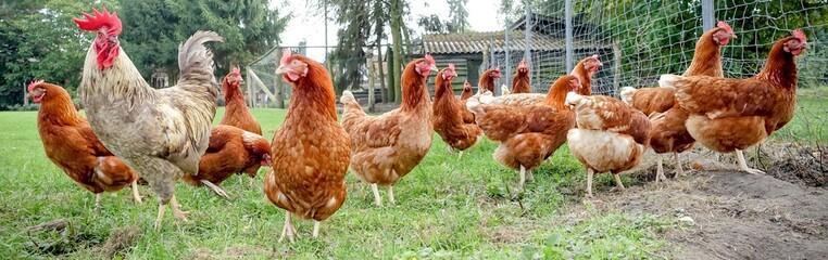 Hahn mit Hühnern auf einer Wiese, Breitbildformat