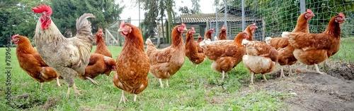 Aluminium Kip Hahn mit Hühnern auf einer Wiese, Breitbildformat