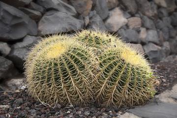 cactus uniti