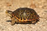 Western Box Turtle (Terrapene ornata) poster