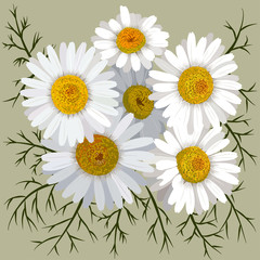 Camomile flower (chamomile) isolated on color background