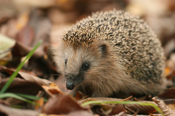 hedgehog autumn leaves forest