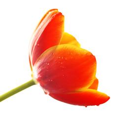 Tulip flower isolated on white